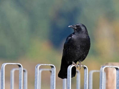 Photo of American Crow on fence
