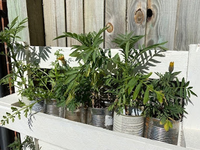Marigold plants in tin cans in a white painted pallet planter