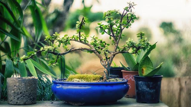Cuidados de los bonsáis