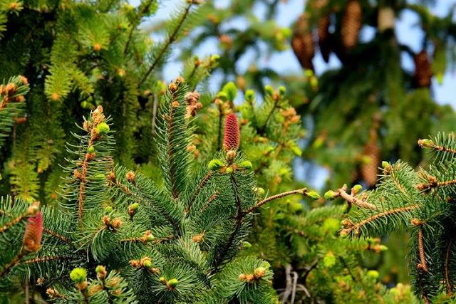"""Μην βάλετε φυσικό χριστουγεννιάτικο δέντρο στο σπίτι - 25.000 ζωύφια """"ανασταίνονται"""" μέσα στο σαλόνι σας"""