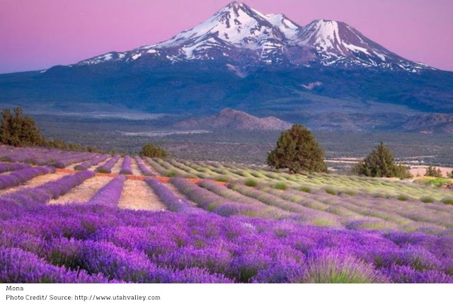 rows of purple lavender flowers growing with mountains in the background