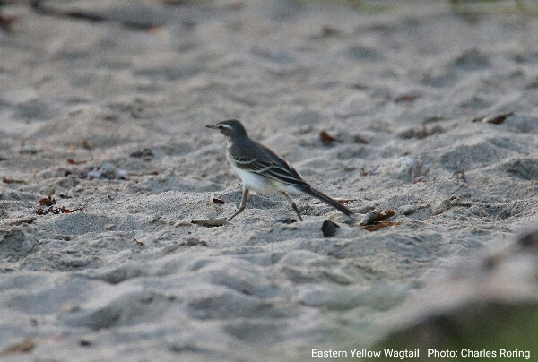 Eastern Yellow Wagtail walking at the beach of Waigeo island