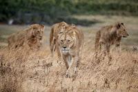 Lions - Photo by Jeff Lemond on Unsplash