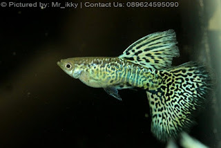 Jual Thailand Guppy Show,  Harga Thailand Guppy Show,  Toko Thailand Guppy Show,  Diskon Thailand Guppy Show,  Beli Thailand Guppy Show,  Review Thailand Guppy Show,  Promo Thailand Guppy Show,  Spesifikasi Thailand Guppy Show,  Thailand Guppy Show Murah,  Thailand Guppy Show Asli,  Thailand Guppy Show Original,  Thailand Guppy Show Jakarta,  Jenis Thailand Guppy Show,  Budidaya Thailand Guppy Show,  Peternak Thailand Guppy Show,  Cara Merawat Thailand Guppy Show,  Tips Merawat Thailand Guppy Show,  Bagaimana cara merawat Thailand Guppy Show,  Bagaimana mengobati Thailand Guppy Show,  Ciri-Ciri Hamil Thailand Guppy Show,  Kandang Thailand Guppy Show,  Ternak Thailand Guppy Show,  Makanan Thailand Guppy Show,  Thailand Guppy Show Termahal,  Adopsi Thailand Guppy Show,  Jual Cepat Thailand Guppy Show,  Thailand Guppy Show  Jakarta,  Thailand Guppy Show  Bandung,  Thailand Guppy Show  Medan,  Thailand Guppy Show  Bali,  Thailand Guppy Show  Makassar,  Thailand Guppy Show  Jambi,  Thailand Guppy Show  Pekanbaru,  Thailand Guppy Show  Palembang,  Thailand Guppy Show  Sumatera,  Thailand Guppy Show  Langsa,  Thailand Guppy Show  Lhokseumawe,  Thailand Guppy Show  Meulaboh,  Thailand Guppy Show  Sabang,  Thailand Guppy Show  Subulussalam,  Thailand Guppy Show  Denpasar,  Thailand Guppy Show  Pangkalpinang,  Thailand Guppy Show  Cilegon,  Thailand Guppy Show  Serang,  Thailand Guppy Show  Tangerang Selatan,  Thailand Guppy Show  Tangerang,  Thailand Guppy Show  Bengkulu,  Thailand Guppy Show  Gorontalo,  Thailand Guppy Show  guppy,  Thailand Guppy Show  tropical fish,  Thailand Guppy Show  aquarium fish,  Thailand Guppy Show  bubble guppies games,  Thailand Guppy Show  guppy fish,  Thailand Guppy Show  bubble guppies videos,  Thailand Guppy Show  bubble guppies episodes,  Thailand Guppy Show  bubble guppies full episodes,  Thailand Guppy Show  super guppy,  Thailand Guppy Show  bubble guppies cast,  Thailand Guppy Show  aquarium online,  Thailand Guppy Show  bubble guppies songs,  Thailand Guppy Show  tetra aquarium,  Thailand Guppy Show  guppies for sale,  Thailand Guppy Show  pregnant guppy,  Thailand Guppy Show  bubble guppies characters,  Thailand Guppy Show  bubble guppy,  Thailand Guppy Show  bubble guppies names,  Thailand Guppy Show  guppies fish,  Thailand Guppy Show  guppy breeding,  Thailand Guppy Show  breeding guppies,  Thailand Guppy Show  bubble guppie,  Thailand Guppy Show  nick jr bubble guppies,  Thailand Guppy Show  bubble guppies coloring pages,  Thailand Guppy Show  bubble guppies video,  Thailand Guppy Show  bubble guppy games,  Thailand Guppy Show  guppy aquarium,  Thailand Guppy Show  guppy care,  Thailand Guppy Show  baby guppies,  Thailand Guppy Show  design aquarium,  Thailand Guppy Show  how to breed guppies,  Thailand Guppy Show  endlers guppy,  Thailand Guppy Show  bubble guppies wiki,  Thailand Guppy Show  bubble guppies game,  Thailand Guppy Show  guppies care,  Thailand Guppy Show  guppy fry,  Thailand Guppy Show  male guppies,  Thailand Guppy Show  buble guppies,  Thailand Guppy Show  guppy fish care,  Thailand Guppy Show  female guppies,  Thailand Guppy Show  female guppy,  Thailand Guppy Show  guppy tank,  Thailand Guppy Show  types of guppies,  Thailand Guppy Show  online aquarium,  Thailand Guppy Show  guppies aquarium,  Thailand Guppy Show  pregnant guppies,  Thailand Guppy Show  guppy giving birth,  Thailand Guppy Show  what do guppies eat,  Thailand Guppy Show  guppy life span,  Thailand Guppy Show  guppy pond,  Thailand Guppy Show  guppy grass,  Thailand Guppy Show  guppies breeding,  Thailand Guppy Show  aquarium guppy,  Thailand Guppy Show  guppies giving birth,  Thailand Guppy Show  bubble guppies pictures,  Thailand Guppy Show  bubble guppies show,  Thailand Guppy Show  male guppy,  Thailand Guppy Show  guppy fish for sale,  Thailand Guppy Show  pregnant guppy fish,  Thailand Guppy Show  endler guppies,  Thailand Guppy Show  guppy babies,  Thailand Guppy Show  the bubble guppies,  Thailand Guppy Show  bubble guppies images,  Thailand Guppy Show  bubble guppies bubble puppy,  Thailand Guppy Show  guppy food,  Thailand Guppy Show  ferplast aquarium,  Thailand Guppy Show  guppy temperature,  Thailand Guppy Show  the binding isaac,  Thailand Guppy Show  guppy tail,  Thailand Guppy Show  the rebirth of isaac,  Thailand Guppy Show  the binding of isaac rebirth guppy,  Thailand Guppy Show  isaac the game,  Thailand Guppy Show  guppie fish,  Thailand Guppy Show  guppy fish breeding,  Thailand Guppy Show  guppy for sale,  Thailand Guppy Show  guppy tank mates,  Thailand Guppy Show  aquarium shop online,  Thailand Guppy Show  guppy gestation,  Thailand Guppy Show  the binding of isaac guppy,  Thailand Guppy Show  keeping guppies,  Thailand Guppy Show  guppy definition,  Thailand Guppy Show  guppy meaning,  Thailand Guppy Show  guppy breathing,  Thailand Guppy Show  fish tropical,  Thailand Guppy Show  endlers guppies,  Thailand Guppy Show  baby guppy,  Thailand Guppy Show  nickelodeon bubble guppies,  Thailand Guppy Show  guppy fish tank,  Thailand Guppy Show  guppy types,  Thailand Guppy Show  guppy fish types,  Thailand Guppy Show  guppy diseases,  Thailand Guppy Show  the binding of isaac 2,  Thailand Guppy Show  isaac the binding,  Thailand Guppy Show  wild guppies,  Thailand Guppy Show  wild guppy,  Thailand Guppy Show  fantail guppies,  Thailand Guppy Show  guppy pregnancy,  Thailand Guppy Show  lyretail guppy,  Thailand Guppy Show  pregnant guppy stages,  Thailand Guppy Show  guppy pregnant,  Thailand Guppy Show  male and female guppies,  Thailand Guppy Show  bubble guppys,  Thailand Guppy Show  guppy birth,  Thailand Guppy Show  do guppies need a heater,  Thailand Guppy Show  pictures of guppies,  Thailand Guppy Show  guppy fish life span,  Thailand Guppy Show  guppy water temperature,  Thailand Guppy Show  show guppies,  Thailand Guppy Show  black guppy,  Thailand Guppy Show  red guppy,  Thailand Guppy Show  binding isaac wiki,  Thailand Guppy Show  binding of isaac 2,  Thailand Guppy Show  moscow guppy,  Thailand Guppy Show  guppy forum,  Thailand Guppy Show  guppies online,  Thailand Guppy Show  fantail guppy,  Thailand Guppy Show  yellow guppy,  Thailand Guppy Show  snakeskin guppy,  Thailand Guppy Show  guppy fry growth chart,  Thailand Guppy Show  guppy fish food,  Thailand Guppy Show  temperature for guppies,  Thailand Guppy Show  water temperature for guppies,  Thailand Guppy Show  guppy games,  Thailand Guppy Show  black moscow guppy,  Thailand Guppy Show  full red guppy,  Thailand Guppy Show  blue moscow guppy,  Thailand Guppy Show  game isaac,  Thailand Guppy Show  male guppy fish,  Thailand Guppy Show  guppy varieties,  Thailand Guppy Show  albino guppy,  Thailand Guppy Show  guppy pregnancy stages,  Thailand Guppy Show  tequila sunrise guppy,  Thailand Guppy Show  guppy fin rot,  Thailand Guppy Show  guppy genetics,  Thailand Guppy Show  pink guppy,  Thailand Guppy Show  the guppy,  Thailand Guppy Show  highland guppy,  Thailand Guppy Show  guppy breeding tank,  Thailand Guppy Show  guppy breeds,  Thailand Guppy Show  show guppies for sale,  Thailand Guppy Show  guppies for sale uk,  Thailand Guppy Show  is my guppy pregnant,  Thailand Guppy Show  guppies having babies,  Thailand Guppy Show  guppy female,  Thailand Guppy Show  guppy fry care,  Thailand Guppy Show  do guppies need a filter,  Thailand Guppy Show  do guppies eat their babies,  Thailand Guppy Show  do guppies sleep,  Thailand Guppy Show  aquarium 40 liter,  Thailand Guppy Show  guppy game,  Thailand Guppy Show  neon guppies,  Thailand Guppy Show  neon guppy,  Thailand Guppy Show  guppy neon,  Thailand Guppy Show  isaac of binding,  Thailand Guppy Show  moscow blue guppy,  Thailand Guppy Show  guppy tail rot,  Thailand Guppy Show  isaac the rebirth,  Thailand Guppy Show  fish guppies,  Thailand Guppy Show  guppies dying,  Thailand Guppy Show  guppy species,  Thailand Guppy Show  guppy gravid spot,  Thailand Guppy Show  the of isaac,  Thailand Guppy Show  breeding guppies for beginners,  Thailand Guppy Show  guppy breeding cycle,  Thailand Guppy Show  female guppies for sale,  Thailand Guppy Show  guppies pregnant,  Thailand Guppy Show  pregnant female guppy,  Thailand Guppy Show  caring for guppies,  Thailand Guppy Show  guppies babies,  Thailand Guppy Show  guppy fry growth,  Thailand Guppy Show  guppy tank setup,  Thailand Guppy Show  guppy fish giving birth,  Thailand Guppy Show  guppy fry food,  Thailand Guppy Show  different types of guppies,  Thailand Guppy Show  types of guppy,  Thailand Guppy Show  guppy pictures,  Thailand Guppy Show  aquarium voor beginners,  Thailand Guppy Show  guppy life cycle,  Thailand Guppy Show  guppies temperature,  Thailand Guppy Show  guppy gestation period,  Thailand Guppy Show  the binding of the isaac,  Thailand Guppy Show  feeding guppies,  Thailand Guppy Show  guppi fish,  Thailand Guppy Show  guppy fish facts,  Thailand Guppy Show  guppy breeders,  Thailand Guppy Show  guppy wiki,  Thailand Guppy Show  freshwater guppies,  Thailand Guppy Show  rare guppies,  Thailand Guppy Show  raising guppies,  Thailand Guppy Show  guppy colors,  Thailand Guppy Show  guppy strains,  Thailand Guppy Show  guppy size,  Thailand Guppy Show  turquoise guppy,  Thailand Guppy Show  leopard guppy,  Thailand Guppy Show  guppy love,  Thailand Guppy Show  guppy images,  Thailand Guppy Show  guppy plant,  Thailand Guppy Show  water temp for guppies,  Thailand Guppy Show  guppy breeding setup,  Thailand Guppy Show  guppies for sale online,  Thailand Guppy Show  guppys aquarium,  Thailand Guppy Show  guppy fish pregnant,  Thailand Guppy Show  guppy care sheet,  Thailand Guppy Show  endler guppy hybrid,  Thailand Guppy Show  baby guppy fish,  Thailand Guppy Show  female guppy fish,  Thailand Guppy Show  bubble guppies nickelodeon,  Thailand Guppy Show  guppy tanks,  Thailand Guppy Show  guppies food,  Thailand Guppy Show  best food for guppies,  Thailand Guppy Show  tropical guppies,  Thailand Guppy Show  black guppy fish,  Thailand Guppy Show  black moscow guppies,  Thailand Guppy Show  gestation period for guppies,  Thailand Guppy Show  blue neon guppy,  Thailand Guppy Show  red mosaic guppy,  Thailand Guppy Show  betta and guppies,  Thailand Guppy Show  guppy fishes,  Thailand Guppy Show  fish compatible with guppies,  Thailand Guppy Show  what is a guppy fish,  Thailand Guppy Show  guppy s,  Thailand Guppy Show  guppy guppy,  Thailand Guppy Show  guppy facts,  Thailand Guppy Show  guppy behavior,  Thailand Guppy Show  green guppy,  Thailand Guppy Show  white guppy,  Thailand Guppy Show  guppy dropsy,  Thailand Guppy Show  purple guppy,  Thailand Guppy Show  bloated guppy,  Thailand Guppy Show  angelfish and guppies,  Thailand Guppy Show  fin rot guppy,  Thailand Guppy Show  guppies keep dying,  Thailand Guppy Show  mollies and guppies,  Thailand Guppy Show  stages of guppy pregnancy,  Thailand Guppy Show  south african guppies,  Thailand Guppy Show  mosaic guppy,  Thailand Guppy Show  guppy cartoon,  Thailand Guppy Show  breeding guppy,  Thailand Guppy Show  aquarium guppies,  Thailand Guppy Show  pregnant guppie,  Thailand Guppy Show  female guppy pregnant,  Thailand Guppy Show  guppy tank size,  Thailand Guppy Show  guppies tank mates,  Thailand Guppy Show  do guppies give live birth,  Thailand Guppy Show  buy guppies,  Thailand Guppy Show  food for guppies,  Thailand Guppy Show  types of guppy fish,  Thailand Guppy Show  guppy disease,  Thailand Guppy Show  tropical fish guppies,  Thailand Guppy Show  black guppies,  Thailand Guppy Show  guppy black,  Thailand Guppy Show  red guppies,  Thailand Guppy Show  red guppy fish,  Thailand Guppy Show  moscow guppies,  Thailand Guppy Show  guppies and bettas,  Thailand Guppy Show  guppy fish information,  Thailand Guppy Show  guppy fish images,  Thailand Guppy Show  all about guppies,  Thailand Guppy Show  guppy breeder,  Thailand Guppy Show  guppys online,  Thailand Guppy Show  guppy poecilia reticulata,  Thailand Guppy Show  guppy a,  Thailand Guppy Show  purple guppies,  Thailand Guppy Show  beautiful guppies,  Thailand Guppy Show  guppy pdf,  Thailand Guppy Show  guppy swimming vertically,  Thailand Guppy Show  guppy names,  Thailand Guppy Show  yellow guppies,  Thailand Guppy Show  male guppies fighting,  Thailand Guppy Show  guppies and tetras,  Thailand Guppy Show  saltwater guppies,  Thailand Guppy Show  guppies and mollies,  Thailand Guppy Show  the guppies,  Thailand Guppy Show  breeding guppies in community tank,  Thailand Guppy Show  breed guppies,  Thailand Guppy Show  live guppies for sale,  Thailand Guppy Show  guppies fish for sale,  Thailand Guppy Show  breeding guppies for profit,  Thailand Guppy Show  guppies aquarium products,  Thailand Guppy Show  taking care of guppies,  Thailand Guppy Show  guppies fish care,  Thailand Guppy Show  john endler guppies,  Thailand Guppy Show  guppy fish babies,  Thailand Guppy Show  male and female guppy,  Thailand Guppy Show  guppy fry development,  Thailand Guppy Show  guppy fry stages,  Thailand Guppy Show  guppies fish tank,  Thailand Guppy Show  guppies tank,  Thailand Guppy Show  guppy fry tank,  Thailand Guppy Show  female guppy giving birth,  Thailand Guppy Show  pregnant guppy giving birth,  Thailand Guppy Show  guppies birth,  Thailand Guppy Show  guppy give birth,  Thailand Guppy Show  guppies types,  Thailand Guppy Show  how much do guppies cost,  Thailand Guppy Show  do guppies eat algae,  Thailand Guppy Show  guppy diseases pictures,  Thailand Guppy Show  pregnant guppy pictures,  Thailand Guppy Show  pictures of guppy fish,  Thailand Guppy Show  guppy fish diseases,  Thailand Guppy Show  show guppy,  Thailand Guppy Show  guppy tropical fish,  Thailand Guppy Show  guppies tropical fish,  Thailand Guppy Show  half black guppy,  Thailand Guppy Show  neon blue guppy,  Thailand Guppy Show  guppies and neon tetras,  Thailand Guppy Show  binding of the isaac,  Thailand Guppy Show  moscow blue guppies,  Thailand Guppy Show  of isaac game,  Thailand Guppy Show  feeding guppy fry,  Thailand Guppy Show  game the binding of isaac,  Thailand Guppy Show  the binding of isaac the game,  Thailand Guppy Show  blue guppy fish,  Thailand Guppy Show  fish that can live with guppies,  Thailand Guppy Show  images of guppy fish,  Thailand Guppy Show  guppy online,  Thailand Guppy Show  albino guppies,  Thailand Guppy Show  pics of guppies,  Thailand Guppy Show  my guppies keep dying,  Thailand Guppy Show  guppy colours,  Thailand Guppy Show  guppy growth chart,  Thailand Guppy Show  golden guppy,  Thailand Guppy Show  colorful guppies,  Thailand Guppy Show  columnaris guppy,  Thailand Guppy Show  guppy diet,  Thailand Guppy Show  dragon guppy,  Thailand Guppy Show  atfg guppy,  Thailand Guppy Show  blue diamond guppy,  Thailand Guppy Show  gold guppy,  Thailand Guppy Show  guppy scientific name,  Thailand Guppy Show  guppies fighting,  Thailand Guppy Show  pingu guppy,  Thailand Guppy Show  trinidadian guppies,  Thailand Guppy Show  dropsy guppy,  Thailand Guppy Show  fat guppy,  Thailand Guppy Show  guppy guppies,  Thailand Guppy Show  guppy singapore,  Thailand Guppy Show  sunset guppy,  Thailand Guppy Show  guppy natural habitat,  Thailand Guppy Show  guppies breeding cycle,  Thailand Guppy Show  breeding tank for guppies,  Thailand Guppy Show  guppy breeding guide,  Thailand Guppy Show  guppies fish breeding,  Thailand Guppy Show  guppy breeding trap,  Thailand Guppy Show  guppy breeding tank setup,  Thailand Guppy Show  guppy sale,  Thailand Guppy Show  rare guppies for sale,  Thailand Guppy Show  endler guppies for sale,  Thailand Guppy Show  aquarium de guppy,  Thailand Guppy Show  pregnant guppy behavior,  Thailand Guppy Show  guppie care,  Thailand Guppy Show  guppy care guide,  Thailand Guppy Show  baby guppy care,  Thailand Guppy Show  guppy having babies,  Thailand Guppy Show  guppies male or female,  Thailand Guppy Show  guppies female,  Thailand Guppy Show  guppy fish female,  Thailand Guppy Show  guppies fry,  Thailand Guppy Show  raising guppy fry,  Thailand Guppy Show  guppy birth signs,  Thailand Guppy Show  guppies live birth,  Thailand Guppy Show  guppy fish pictures,  Thailand Guppy Show  guppies pictures,  Thailand Guppy Show  female guppy pictures,  Thailand Guppy Show  life cycle of a guppy,  Thailand Guppy Show  guppies water temperature,  Thailand Guppy Show  tropical fish guppy,  Thailand Guppy Show  tropical guppy,  Thailand Guppy Show  moscow black guppy,  Thailand Guppy Show  neon tetras and guppies,  Thailand Guppy Show  guppy tails,  Thailand Guppy Show  guppy feeding,  Thailand Guppy Show  bettas and guppies,  Thailand Guppy Show  guppies and betta,  Thailand Guppy Show  can guppies live with bettas,  Thailand Guppy Show  guppy fish price,  Thailand Guppy Show  guppy fish varieties,  Thailand Guppy Show  wild guppy fish,  Thailand Guppy Show  guppys fish,  Thailand Guppy Show  guppies information,  Thailand Guppy Show  free guppies,  Thailand Guppy Show  blue glass guppy,  Thailand Guppy Show  guppy d,  Thailand Guppy Show  pink guppies,  Thailand Guppy Show  guppy behaviour,  Thailand Guppy Show  common guppy,  Thailand Guppy Show  ribbon guppy,  Thailand Guppy Show  kinds of guppies,  Thailand Guppy Show  gonopodium guppy,  Thailand Guppy Show  rare guppy,  Thailand Guppy Show  guppy compatibility,  Thailand Guppy Show  pretty guppies,  Thailand Guppy Show  snakeskin guppies,  Thailand Guppy Show  guppy anatomy,  Thailand Guppy Show  green guppies,  Thailand Guppy Show  guppies in the wild,  Thailand Guppy Show  guppy growth,  Thailand Guppy Show  guppy water temp,  Thailand Guppy Show  guppy swim bladder,  Thailand Guppy Show  german yellow guppy,  Thailand Guppy Show  guppy videos,  Thailand Guppy Show  cartoon guppy,  Thailand Guppy Show  guppy not eating,  Thailand Guppy Show  exotic guppy,  Thailand Guppy Show  breeding guppys,  Thailand Guppy Show  breeding guppy fish,  Thailand Guppy Show  guppies for sale cheap,  Thailand Guppy Show  guppy breed,  Thailand Guppy Show  cheap guppies for sale,  Thailand Guppy Show  wild guppies for sale,  Thailand Guppy Show  guppys for sale,  Thailand Guppy Show  baby guppies for sale,  Thailand Guppy Show  guppy fry for sale,  Thailand Guppy Show  guppy fish aquarium,  Thailand Guppy Show  aquarium fish guppy,  Thailand Guppy Show  care for guppies,  Thailand Guppy Show  bubble guppies nick,  Thailand Guppy Show  nick bubble guppies,  Thailand Guppy Show  guppie fry,  Thailand Guppy Show  caring for guppy fry,  Thailand Guppy Show  guppy fish tanks,  Thailand Guppy Show  female guppies giving birth,  Thailand Guppy Show  where to buy guppies,  Thailand Guppy Show  fish food for guppies,  Thailand Guppy Show  pictures of pregnant guppies,  Thailand Guppy Show  albino red guppy,  Thailand Guppy Show  moscow green guppy,  Thailand Guppy Show  purple moscow guppies,  Thailand Guppy Show  isaac of rebirth,  Thailand Guppy Show  feeding baby guppies,  Thailand Guppy Show  guppy photo,  Thailand Guppy Show  game binding of isaac,  Thailand Guppy Show  a guppy fish,  Thailand Guppy Show  compatible fish with guppies,  Thailand Guppy Show  live guppies,  Thailand Guppy Show  poecilia reticulata guppy,  Thailand Guppy Show  exotic guppies,  Thailand Guppy Show  guppy price,  Thailand Guppy Show  guppy video,  Thailand Guppy Show  guppy wallpaper,  Thailand Guppy Show  white guppies,  Thailand Guppy Show  lyretail guppies,  Thailand Guppy Show  small guppies,  Thailand Guppy Show  guppy mouth,  Thailand Guppy Show  blonde guppy,  Thailand Guppy Show  peacock guppy,  Thailand Guppy Show  looking after guppies,  Thailand Guppy Show  guppy bent spine,  Thailand Guppy Show  plants for guppies,  Thailand Guppy Show  guppy predators,  Thailand Guppy Show  beautiful guppy,  Thailand Guppy Show  guppy eyes,  Thailand Guppy Show  guppy gonopodium,  Thailand Guppy Show  singapore guppy,  Thailand Guppy Show  dropsy in guppies,  Thailand Guppy Show  guppy fungus,  Thailand Guppy Show  gubbi fish,  Thailand Guppy Show  selective breeding guppies,  Thailand Guppy Show  breeding mollies and guppies,  Thailand Guppy Show  breeds of guppies,  Thailand Guppy Show  guppies sale,  Thailand Guppy Show  guppy breeding net,  Thailand Guppy Show  rare guppy breeds,  Thailand Guppy Show  guppie breeding,  Thailand Guppy Show  albino guppies for sale,  Thailand Guppy Show  blue guppies for sale,  Thailand Guppy Show  pregnant guppies for sale,  Thailand Guppy Show  guppy aquariums,  Thailand Guppy Show  aquarium a guppy,  Thailand Guppy Show  care of guppies,  Thailand Guppy Show  baby guppies care,  Thailand Guppy Show  guppy baby fish,  Thailand Guppy Show  guppy male female,  Thailand Guppy Show  male female guppies,  Thailand Guppy Show  bubble guppies on nick jr,  Thailand Guppy Show  guppy breeder tank,  Thailand Guppy Show  buy guppy fish,  Thailand Guppy Show  baby guppy food,  Thailand Guppy Show  type of guppies,  Thailand Guppy Show  do guppies need air pump,  Thailand Guppy Show  pictures of guppies fish,  Thailand Guppy Show  picture of guppies,  Thailand Guppy Show  female guppies pictures,  Thailand Guppy Show  guppy picture,  Thailand Guppy Show  guppies life span,  Thailand Guppy Show  life span of guppies,  Thailand Guppy Show  guppy life expectancy,  Thailand Guppy Show  show quality guppies,  Thailand Guppy Show  breeding show guppies,  Thailand Guppy Show  tropical guppy fish,  Thailand Guppy Show  guppy fish game,  Thailand Guppy Show  guppies gestation period,  Thailand Guppy Show  guppies gestation,  Thailand Guppy Show  fan tail guppies,  Thailand Guppy Show  fan tailed guppies,  Thailand Guppy Show  dragon tail guppy,  Thailand Guppy Show  the rebirth of isaac game,  Thailand Guppy Show  the isaac game,  Thailand Guppy Show  guppies feeding,  Thailand Guppy Show  guppy photos,  Thailand Guppy Show  about guppy fish,  Thailand Guppy Show  yellow guppy fish,  Thailand Guppy Show  guppy fish bowl,  Thailand Guppy Show  selling guppies,  Thailand Guppy Show  guppy pics,  Thailand Guppy Show  about guppies,  Thailand Guppy Show  ifga guppies,  Thailand Guppy Show  taiwan guppy,  Thailand Guppy Show  guppies price,  Thailand Guppy Show  different kinds of guppies,  Thailand Guppy Show  guppy blog,  Thailand Guppy Show  guppy plants,  Thailand Guppy Show  guppy green,  Thailand Guppy Show  tankmates for guppies,  Thailand Guppy Show  freshwater guppy,  Thailand Guppy Show  tequila sunrise guppies,  Thailand Guppy Show  endless guppy,  Thailand Guppy Show  platies and guppies,  Thailand Guppy Show  guppy parasites,  Thailand Guppy Show  guppy pet,  Thailand Guppy Show  guppy illness,  Thailand Guppy Show  pet guppies,  Thailand Guppy Show  guppy white,  Thailand Guppy Show  guppies species,  Thailand Guppy Show  hybrid guppies,  Thailand Guppy Show  breeding tanks for guppies,  Thailand Guppy Show  guppy breeding tanks,  Thailand Guppy Show  guppy care and breeding,  Thailand Guppy Show  breeding guppies for feeders,  Thailand Guppy Show  guppy fish sale,  Thailand Guppy Show  breeding guppies for sale,  Thailand Guppy Show  guppy aquarium fish,  Thailand Guppy Show  aquarium guppy fish,  Thailand Guppy Show  guppies aquariums,  Thailand Guppy Show  pregnant guppys,  Thailand Guppy Show  pregnant female guppies,  Thailand Guppy Show  raising baby guppies,  Thailand Guppy Show  guppy fry color,  Thailand Guppy Show  guppy fry size,  Thailand Guppy Show  guppy birthing process,  Thailand Guppy Show  buying guppies,  Thailand Guppy Show  buy guppy fish online,  Thailand Guppy Show  buy guppy,  Thailand Guppy Show  homemade guppy food,  Thailand Guppy Show  pictures of female guppies,  Thailand Guppy Show  pictures of baby guppies,  Thailand Guppy Show  guppies diseases,  Thailand Guppy Show  guppy diseases symptoms,  Thailand Guppy Show  life cycle of guppies,  Thailand Guppy Show  guppy shows,  Thailand Guppy Show  show guppy breeders,  Thailand Guppy Show  is a guppy a tropical fish,  Thailand Guppy Show  binding the isaac,  Thailand Guppy Show  the of isaac game,  Thailand Guppy Show  the game isaac,  Thailand Guppy Show  guppy fish photos,  Thailand Guppy Show  photos of guppies,  Thailand Guppy Show  binding isaac game,  Thailand Guppy Show  binding game,  Thailand Guppy Show  guppies fishing report,  Thailand Guppy Show  all about guppy fish,  Thailand Guppy Show  the guppy fish,  Thailand Guppy Show  how much are guppy fish,  Thailand Guppy Show  is a guppy a fish,  Thailand Guppy Show  guppy fish wiki,  Thailand Guppy Show  guppies fish bowl,  Thailand Guppy Show  cheap guppies,  Thailand Guppy Show  fresh water guppies,  Thailand Guppy Show  how to sell guppies,  Thailand Guppy Show  pond guppies,  Thailand Guppy Show  information about guppies,  Thailand Guppy Show  guppy illnesses,  Thailand Guppy Show  guppy hatchery,  Thailand Guppy Show  guppy store,  Thailand Guppy Show  guppies fin rot,  Thailand Guppy Show  common guppies,  Thailand Guppy Show  guppy prices,  Thailand Guppy Show  guppy mouth fungus,  Thailand Guppy Show  singapore guppies,  Thailand Guppy Show  guppy book,  Thailand Guppy Show  large guppy,  Thailand Guppy Show  breading guppies,  Thailand Guppy Show  malaysia guppy,  Thailand Guppy Show  aggressive guppies,  Thailand Guppy Show  guppies diet,  Thailand Guppy Show  my guppy,  Thailand Guppy Show  robert john lechmere guppy,  Thailand Guppy Show  guppy breading,  Thailand Guppy Show  guppy forums,  Thailand Guppy Show  guppies pics,  Thailand Guppy Show  guppy fin rot treatment,  Thailand Guppy Show  the re-birth,  Thailand Guppy Show  the binding rebirth,  Thailand Guppy Show  guppies aquarium supplies,  Thailand Guppy Show  aquarium mit guppys,  Thailand Guppy Show  guppys im aquarium,  Thailand Guppy Show  fry guppy,  Thailand Guppy Show  where can i buy guppies,  Thailand Guppy Show  breeding guppies for food,  Thailand Guppy Show  guppy fish picture,  Thailand Guppy Show  binding of isaac original,  Thailand Guppy Show  the isaac of binding,  Thailand Guppy Show  rebirth of isaac game,  Thailand Guppy Show  game of isaac,  Thailand Guppy Show  guppies photos,  Thailand Guppy Show  guppy fish breeders,  Thailand Guppy Show  what is guppy fish,  Thailand Guppy Show  guppy water conditions,  Thailand Guppy Show  german guppies,  Thailand Guppy Show  laser beam guppy,  Thailand Guppy Show  the binding of rebirth,  Thailand Guppy Show  the binding of isaac a,  Thailand Guppy Show  guppy rebirth,