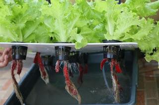 selada hidroponik sistem wick