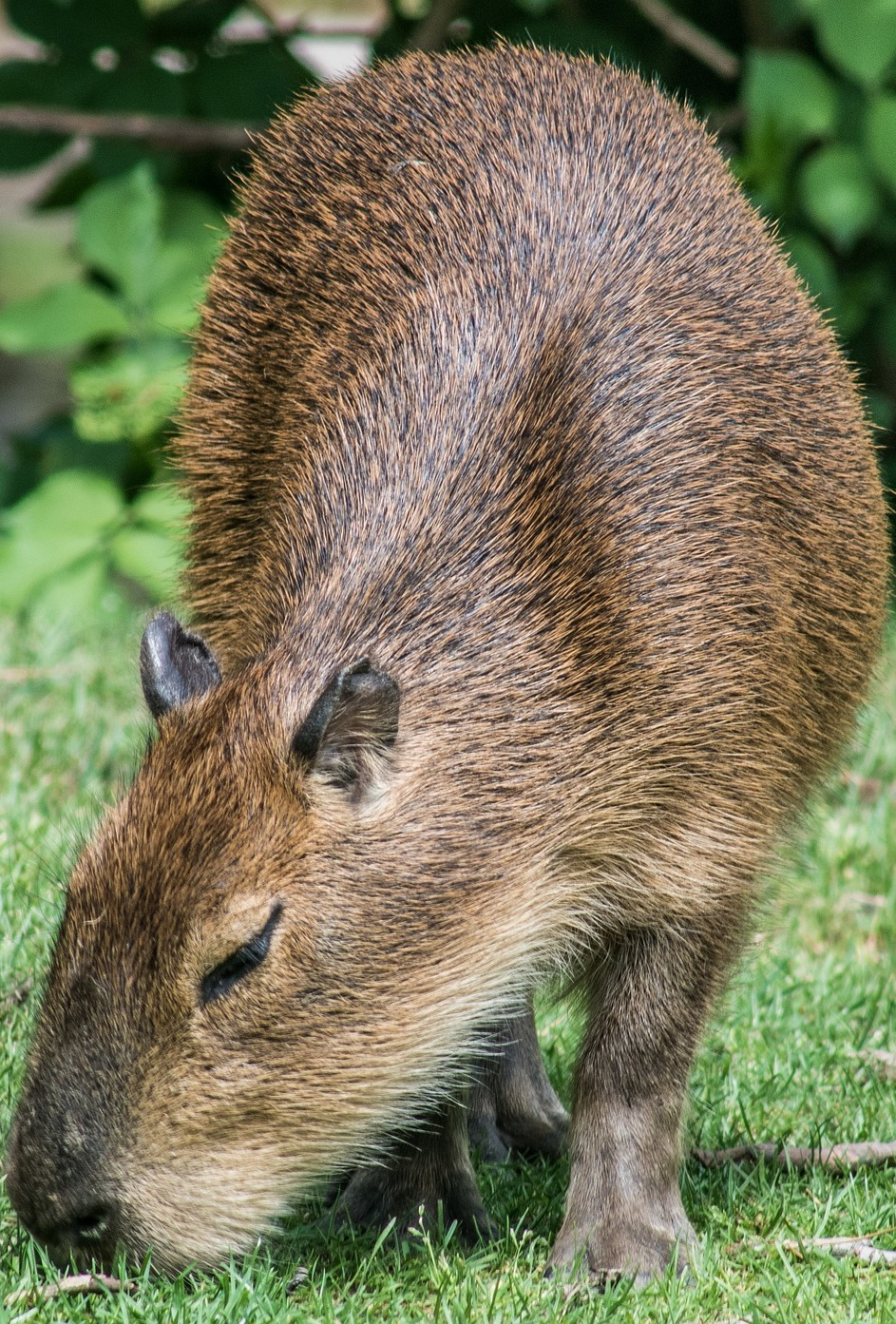 A capybara eating grass.