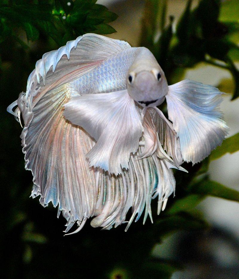 Image Can Bettas Eat Regular Fish Food