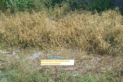 Membasmi Rumput Liar dalam Semalam
