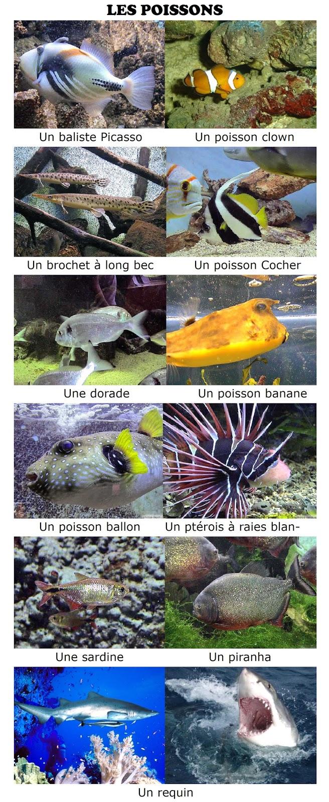 Zwierzęta - ryby - Francuski przy kawie