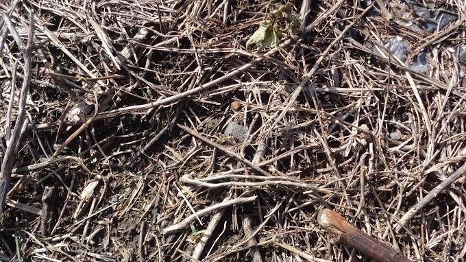 Rumput Mati Dan Mengering