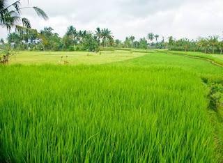 PALI Kembali Akan Cetak Sawah 1000 Hektar