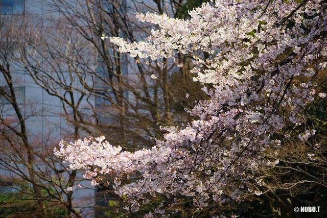 小石川後楽園・内庭の江戸彼岸桜