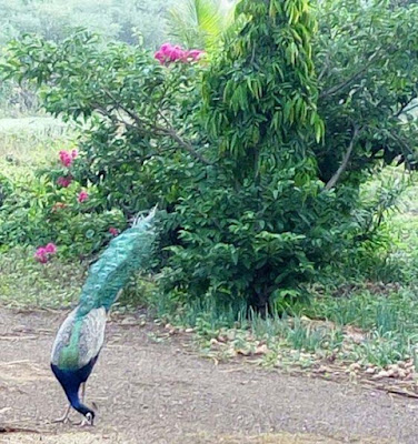 eating-peacock-on-the-farmhouse-porbandar