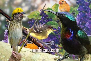 Suara kombinasi burung masteran menjadi salah satu jenis audio yang paling banyak dicari sobat kicaumania. Kali ini Om Kicau ingin berbagi audio kombinasi