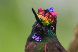 Foto em fundo verde desfocado, ao centro, parte superior de um Beija-Flor Arco-Íris: cabeça pequena, olho redondo escuro, abaixo do olho há uma faixinha furta-cor, bico achatado e longo, plumagem densa e iridescente. Do bico à parte superior da cabeça, as penas abrem-se, formando um arco-íris composto por pequenos leques em cores vibrantes: rosa, lilás, laranja, verde, azul e amarelo; no pescoço, misturado há uma plumagem marrom escuro com extremidades azuladas, sobressai um chumaço de penas planas, arredondadas e sobrepostas, o peito é marrom e verde, no encontro e contorno da asa é marrom claro e a asa, marrom esverdeado.