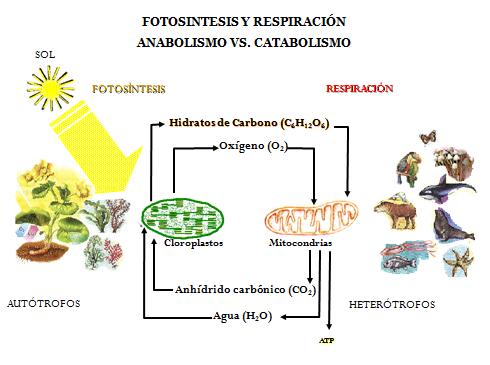 Urbina Vinos Blog El Metabolismo Celular Anabolismo Catabolismo