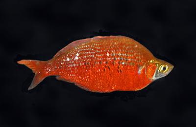 Salmon-red rainbowfish