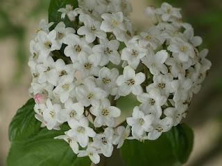 Viorne de Burkwood - Viburnum x burkwoodii