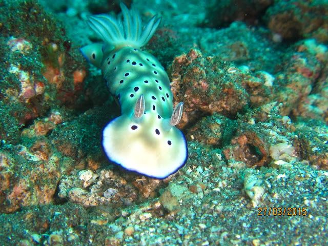 Nudibranch, Chromodoris Kunei