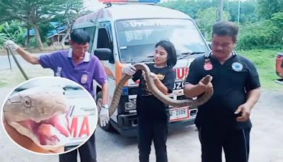 Penangkapan ular king kobra