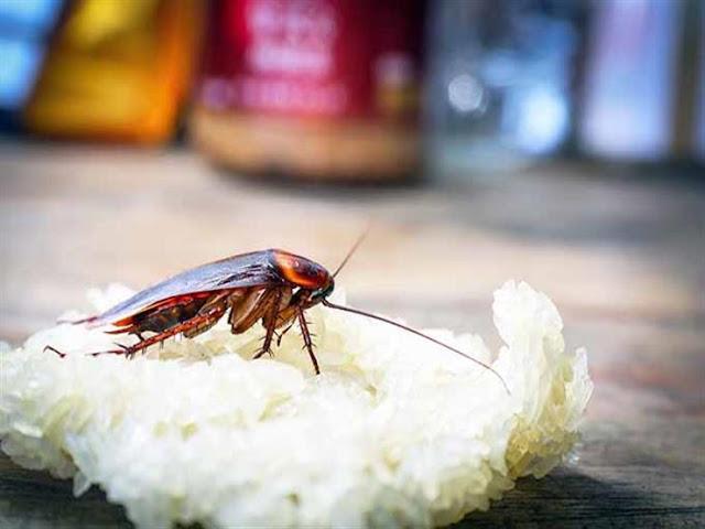 لماذا تظهر الصراصير في المطبخ؟.. وهذه هى الطريقة الفعالة للقضاء عليها