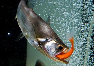 Harga Pakan Hidup Literan Untuk Ikan Predator terbaru 2019