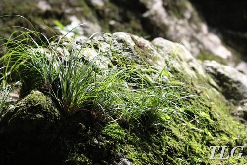 cỏ cảnh, cỏ sân vườn, cỏ ven suối