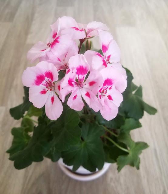 герань нежно - розовая