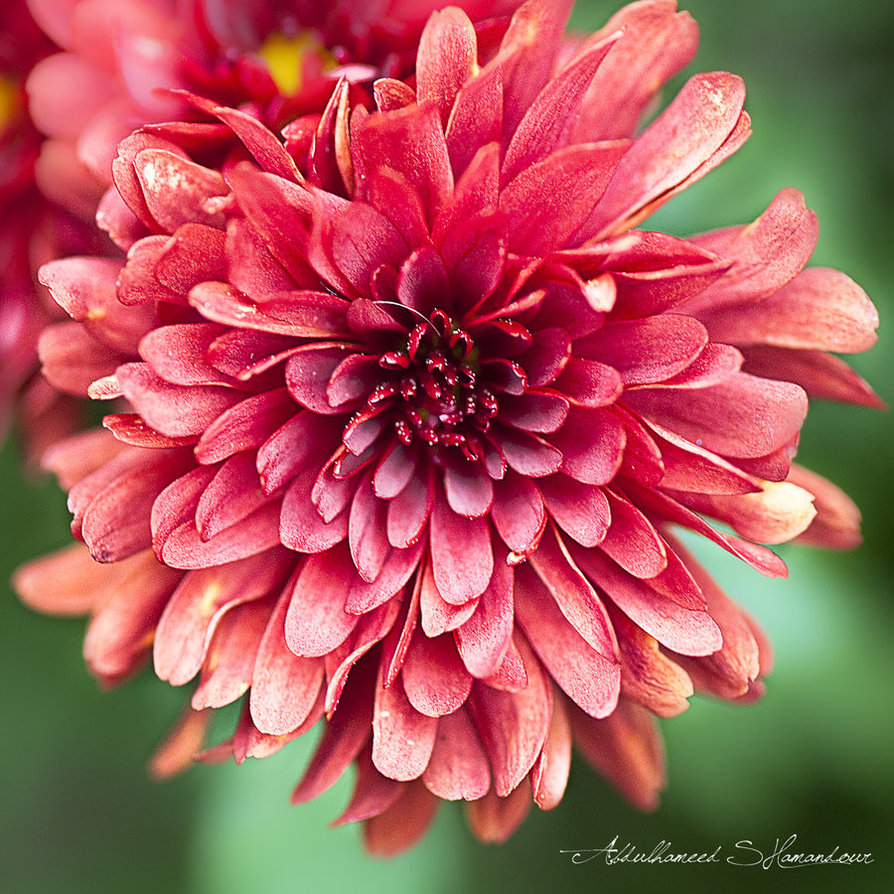 Pictures Of Chrysanthemum Flowers - Beautiful Flowers