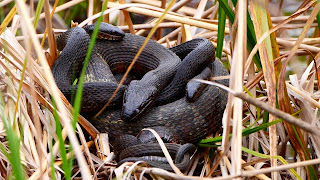 Northern Water snakes mating
