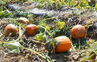 Pumpkin Patch at Strite's Orchard in Harrisburg Pennsylvania