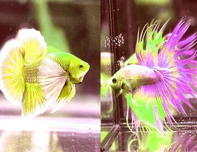 Betta Fish Everything You Need to Know