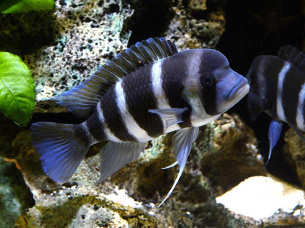 Satılık Frontoza Balığı
