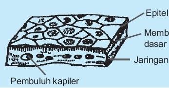 Struktur Dan Fungsi Jaringan Epitelium Simpleks Pada Hewan