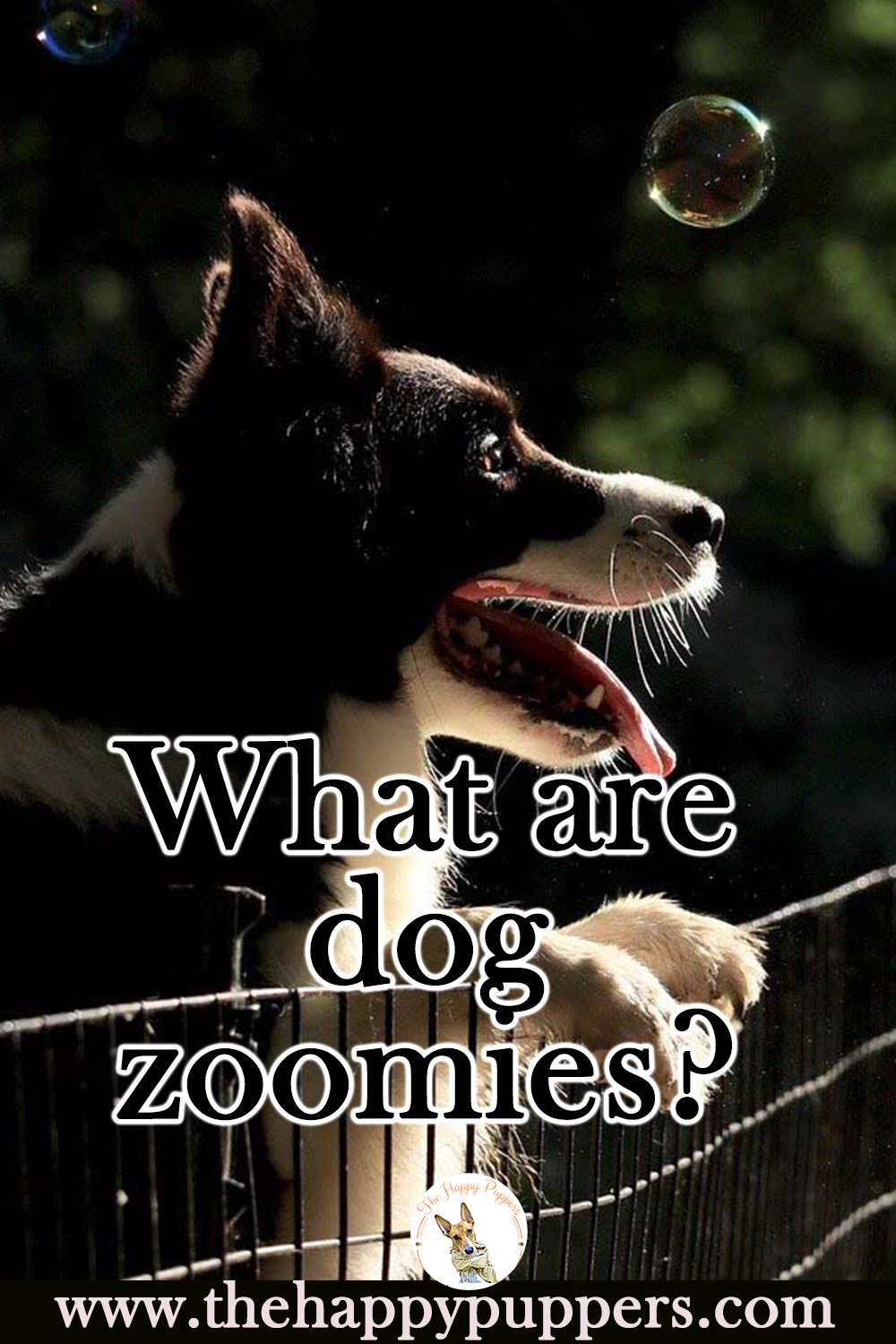 What are dog zoomies?