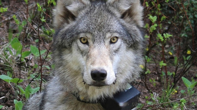Animals And Pets, Wolf,
