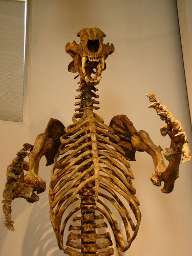 skeleton of a Short-faced bear