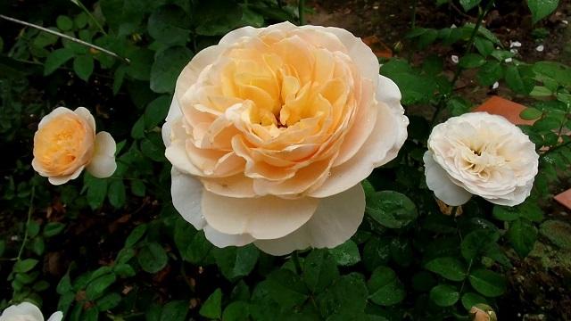 hoa hồng đắt nhất thế giới