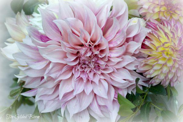 Pink Cafe au Lait Dahlia www.gildedbloom.com #flowers #dahlias
