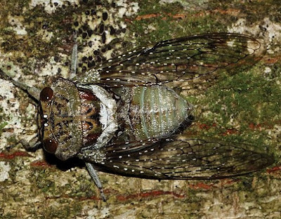 Shrill Thorntree Cicada: Photo by Adrian John Armstrong & Martin H. Villet