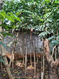 Pohon walisongo tinggi 4m