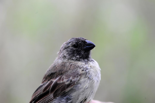 Hybrid species could hold secret to protect Darwin's finches against invasive parasite