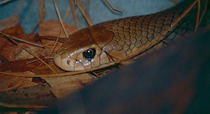 Cobra extremamente venenosa é encontrada perto de parque infantil (VÍDEO)