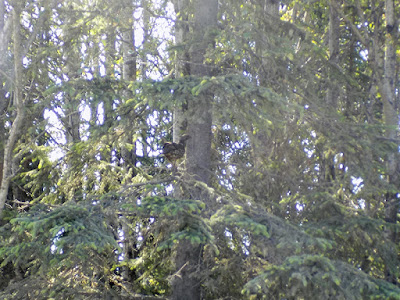 Momma Grouse is well Hidden in this Tree