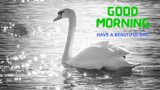 Swan images with Good morning messages