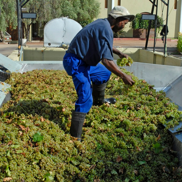 South Africa grapes are loaded into the bin before pulping at the Orange River Wine Cellars