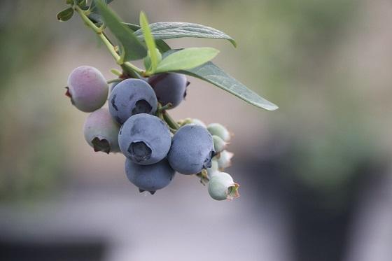ameriške-borovnice-plodovi-na-veji