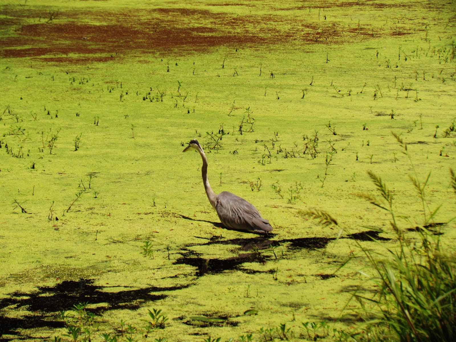 Green Swamp Water With Moss and Lily Pads and a Gray Ibis Bird Birds of Prey Hunting Fish