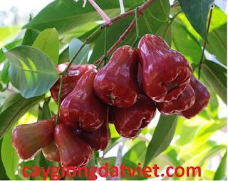 Roi thái đỏ, cây giống F1. Cây cho trái sai, quả đỏ, ít sâu bệnh. Giao hàng toàn quốc.