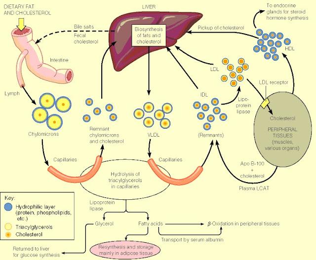 Cholesterol metabolism diagram